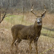 Stock Photo: Buck Whitetail Deer