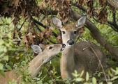 Whitetail Doe With Fawn — Stock Photo
