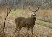 Buck Whitetail Deer — Stock Photo