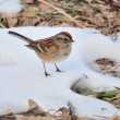 American Tree Sparrow — Stock Photo