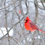 Cardinal — Stock Photo #1990334