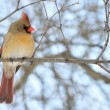 Stock Photo: Female Cardinal