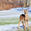 Whitetail Deer Yearling — Stock Photo #1990615