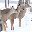 Three Whitetail Deer — Stock Photo