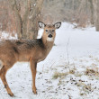 Whitetail Deer Yearling — Stock Photo #1990843