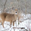 Whitetail Deer Yearling — Stock Photo #1990871