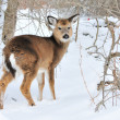 Whitetail Deer Yearling — Stock Photo #1990895