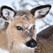 Stock Photo: Whitetail Deer Yearling