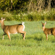 Stock Photo: Whitetail Deer Doe With Yearling
