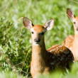 Two Whitetail Deer fawns — Stok fotoğraf