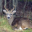 Whitetail Deer Buck — Stock Photo #1991411