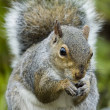 Grey Squirrel (Sciurus carolinensis) — Stock Photo #1993491