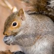 Gray Squirrel — Stock Photo #1993550