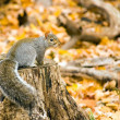 Royalty-Free Stock Photo: Gray Squirrel
