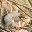 Gray Squirrel - Stock Photo