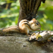 Chipmunk — Stock Photo #1997124