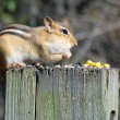 Chipmunk On A Post — Stock Photo #1997142