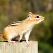 Chipmunk On A Post — Stock Photo #1997160