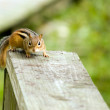 Chipmunk — Stock Photo #1997190