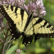 Eastern Tiger Swallowtail — Stock Photo