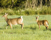 Whitetail Deer Doe And Fawn — Stock Photo