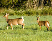 Whitetail Deer Doe With Yearling — Stock Photo