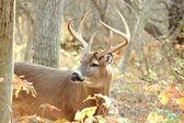 Whitetail rådjur buck — Stockfoto