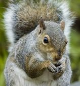 Grey Squirrel (Sciurus carolinensis) — Stock Photo