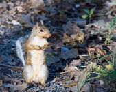 Gray Squirrel — Stock Photo