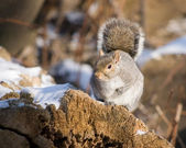 Winter Grey Squirrel — Stock Photo