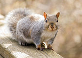 Gray Squirrel — 图库照片