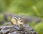 Chipmunk On A Log — Stock Photo