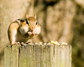 Chipmunk On A Post — Stock Photo