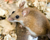 Field Mouse — Stock Photo