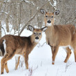 Whitetail Deer Yearling And Doe — 图库照片