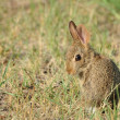 Baby Cottontail Rabbit — Stock Photo #2205420