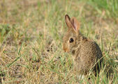 Baby Cottontail Rabbit — Stock Photo