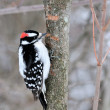 Downy Woodpecker — Stock Photo