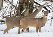 Whitetail Deer Doe And Yearling — Stock Photo
