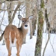 Whitetail Deer Doe — Stock Photo