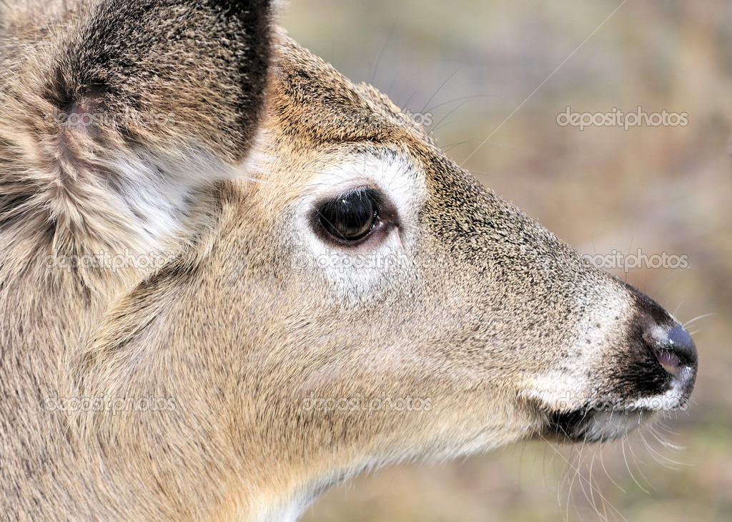 A Whitetail deer yearling close-up head shot. — Stock Photo #2626431