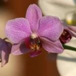 Orchid-Phalaenopsis flower — Stock Photo