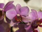 Orchid-Phalaenopsis flowers — Stock Photo