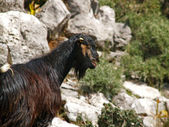 Crete - a herd of goats in the Imbros — Stock Photo