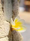 Plumeria flower in the stone wall — Stock Photo