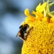 Honey bee on a sunflower — Stock Photo