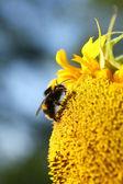 ヒマワリの蜂蜜蜂 — ストック写真
