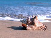 Whelk in the beach — Stock Photo