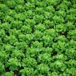 Plantation of lettuces - Stock Photo