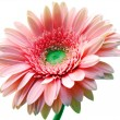 Stock Photo: Gerber flower